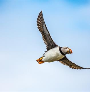 Puffin watching tours